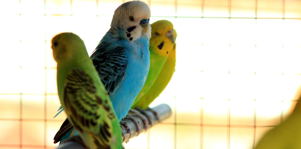Pawsitive-Living-VI-house-sitting -Parakeet Gang-crop