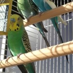 bird sitting, Virgin Islands, St. Thomas, pet sitting