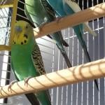 bird sitting, Virgin Islands, St. Thomas, pet sitting